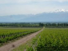 Image of 57 Hectares of Vineyards in Mendoza