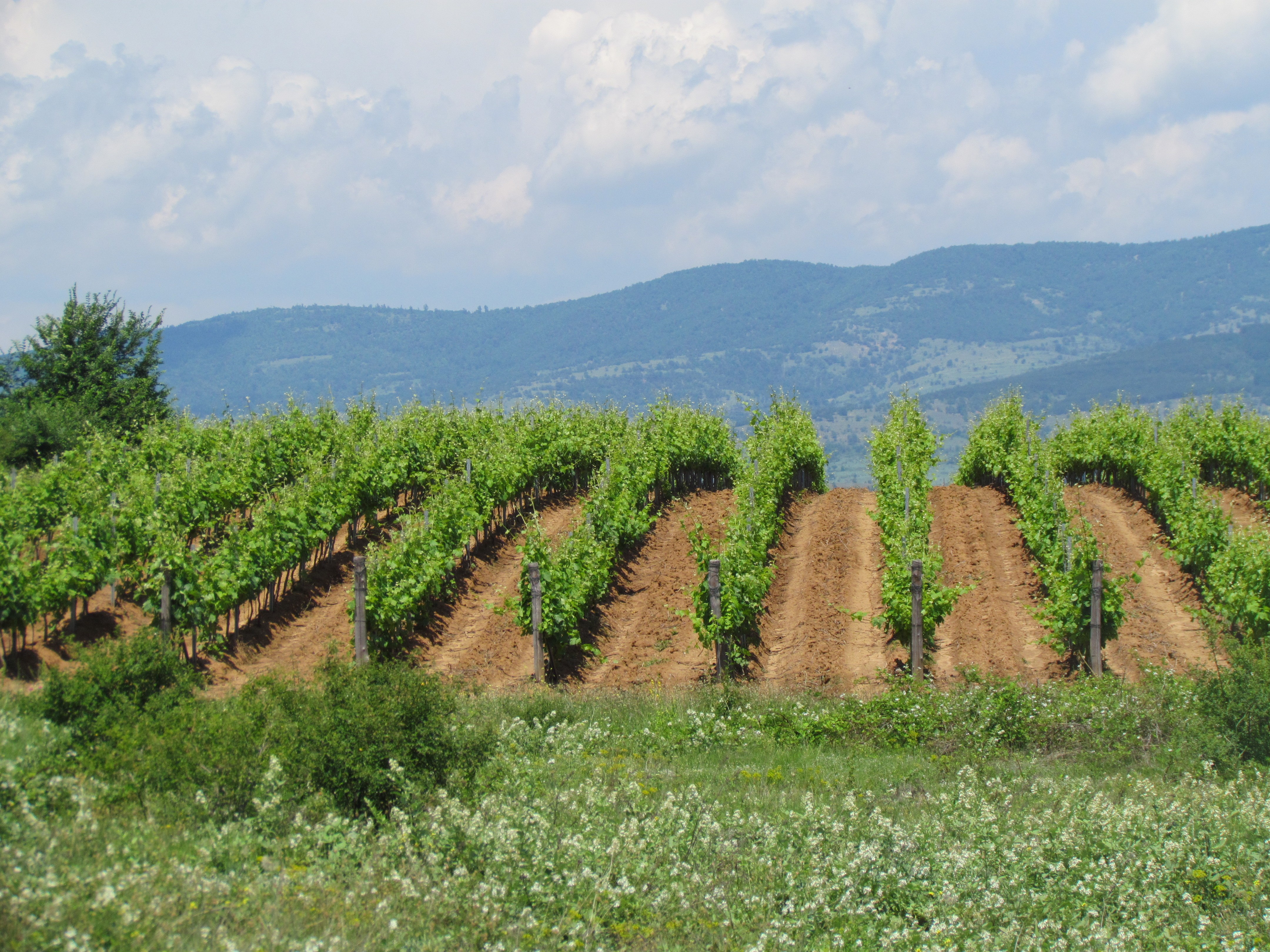 Image of Vineyard for sale in Southern Bulgaria
